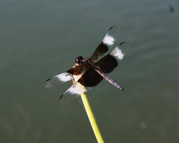 Bug Poster featuring the photograph Dragonfly by Diego Salisbury