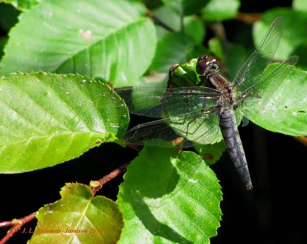 Dragonfly Poster featuring the photograph Dragonfly by Jennie Richards