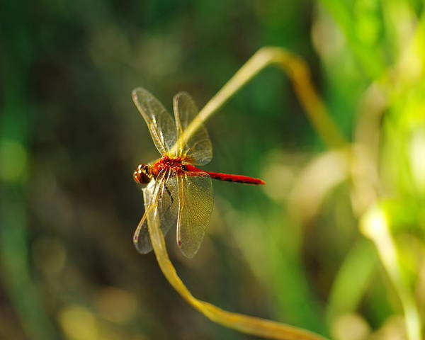 Insects Poster featuring the photograph Dragonfly On A Summer Day by Jeff Swan