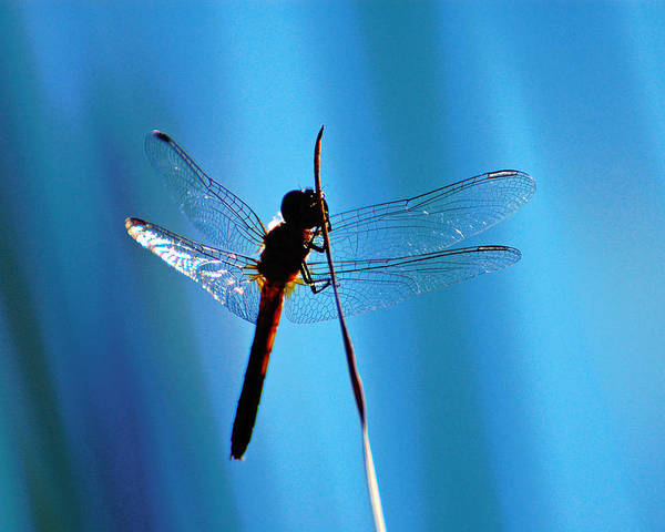 Dragonfly Poster featuring the photograph Dragonfly Silhouette by Jean Booth