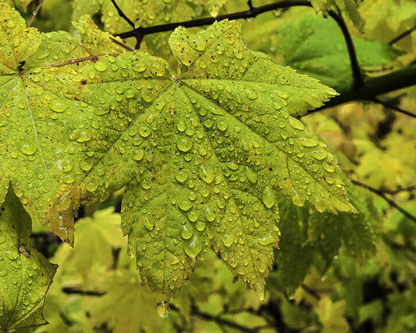 Autumn Poster featuring the photograph Dripping Vine Maple by Curtis Knight