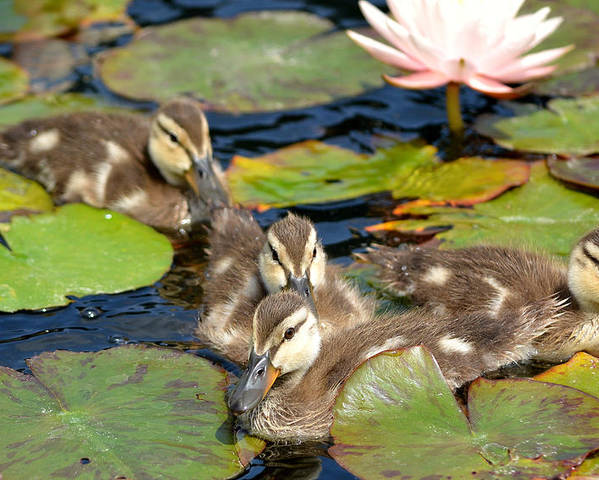 Baby Ducks Poster featuring the photograph Duck Soup 2 by Fraida Gutovich