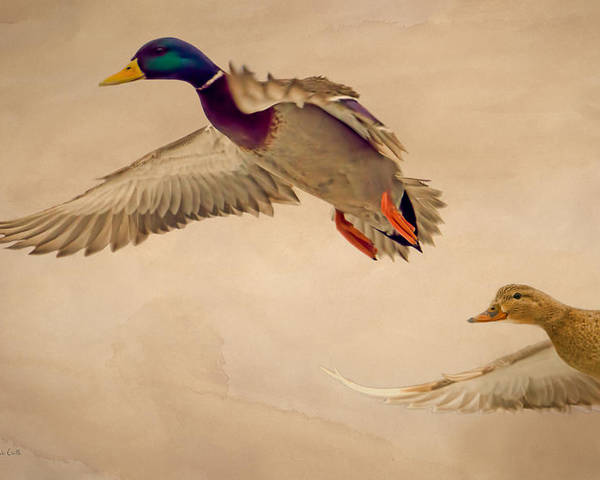 Duck Poster featuring the photograph Ducks In Flight by Bob Orsillo