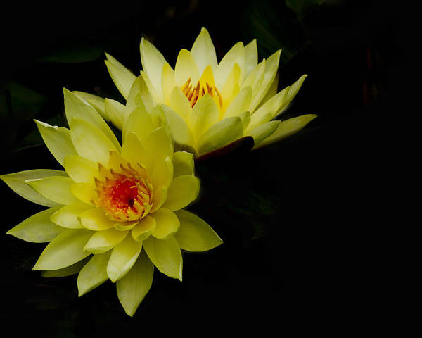 Water Lily Poster featuring the photograph Duo by Rebecca Cozart