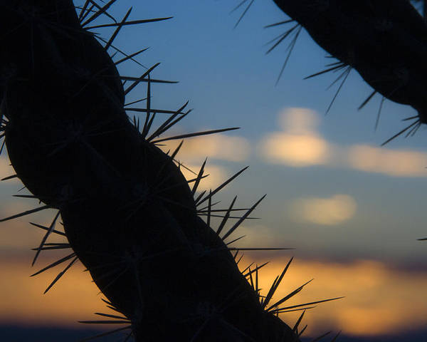 Cane Cholla Poster featuring the photograph Dusk Settles On A Desert Cholla Cactus by Scott Lenhart