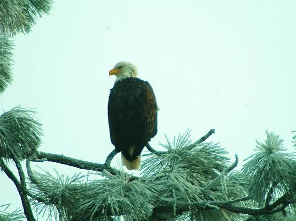 Wildlife Poster featuring the photograph Eagle On A Frozen Pine by Jeff Swan
