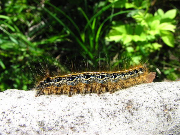 Eastern Tent Caterpillar Prints Colorful Caterpillar Prints Common Caterpillar Images Entomology Biodiversity Nature Poster featuring the photograph Eastern Tent Caterpillar by Joshua Bales