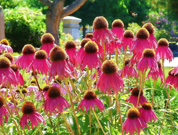 Echinacea Flowers Poster featuring the digital art Echinacea Flowers by Devalyn Marshall