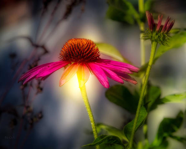Flower Poster featuring the photograph Echinacea Sunrise by Bob Orsillo