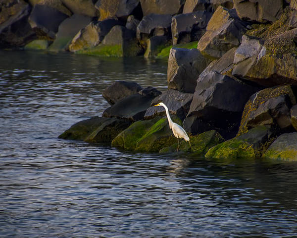 Egret Poster featuring the photograph Egret On The Rocks by Bill Cannon