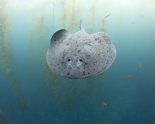Feb0514 Poster featuring the photograph Electric Ray Cortes Bank California by Richard Herrmann