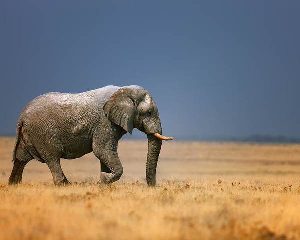 Walk Poster featuring the photograph Elephant in grassfield by Johan Swanepoel