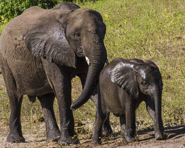 Elephant Poster featuring the photograph Elephant Mom And Baby by Suanne Forster