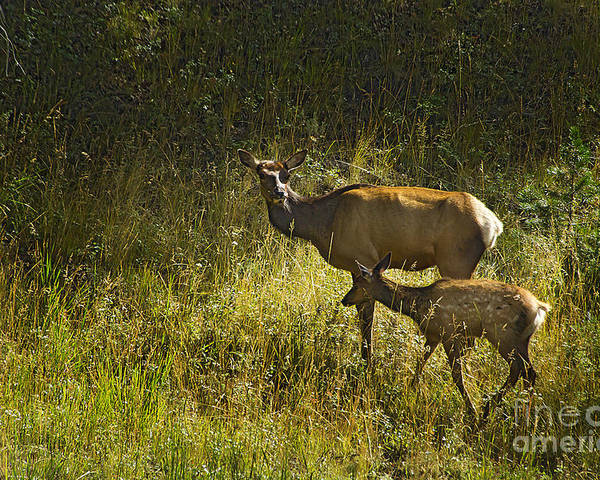 Elk Poster featuring the photograph Elk Doe And Fawn-signed #4465 by J L Woody Wooden