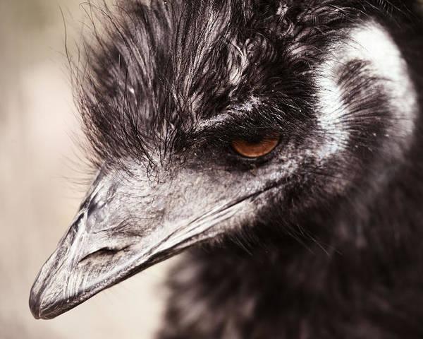 Emu Poster featuring the photograph Emu Closeup by Karol Livote