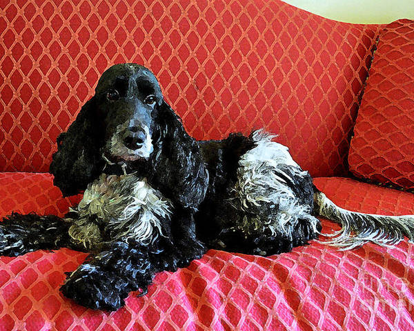 English Cocker Spaniel Poster featuring the photograph English Cocker Spaniel On Red Sofa by Catherine Sherman