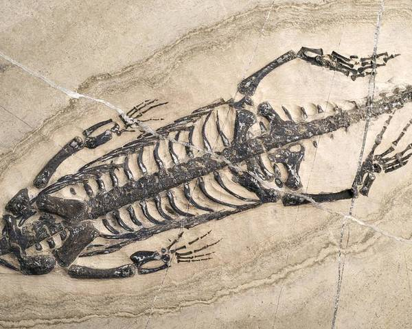 Aquatic Poster featuring the photograph Extinct Reptile Skeleton by Science Photo Library