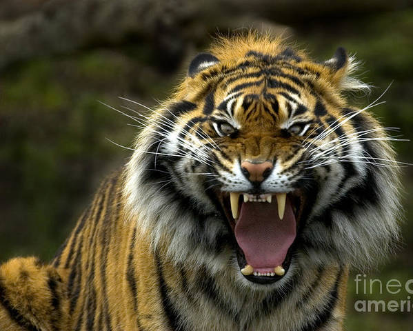 Tiger Poster featuring the photograph Eyes Of The Tiger by Mike Dawson