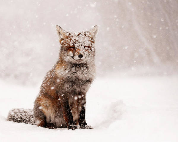 Fox Poster featuring the photograph Fairytale Fox _ Red Fox In A Snow Storm by Roeselien Raimond