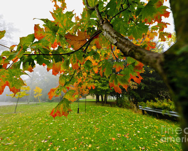 Maple Poster featuring the photograph Fall Maple Tree In Foggy Park by Elena Elisseeva