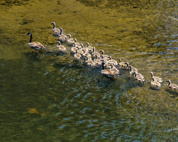 Geese Poster featuring the photograph Family Of Geese On The Rogue River by Mick Anderson