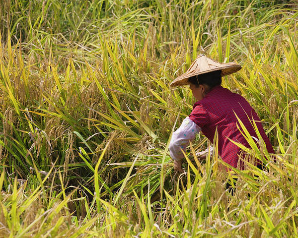 Agriculture Poster featuring the photograph Farmer Harvesting Rice On The Terrace by Keren Su