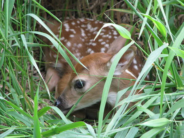 Fawn Poster featuring the photograph Fawn by Gina Boebel
