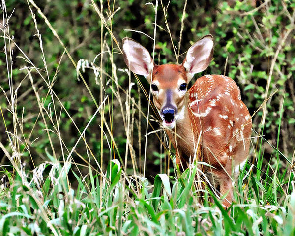 A Whitetail Fawn Hiding In The Tall Grass. Poster featuring the photograph Fawn In The Grass by Marty Koch
