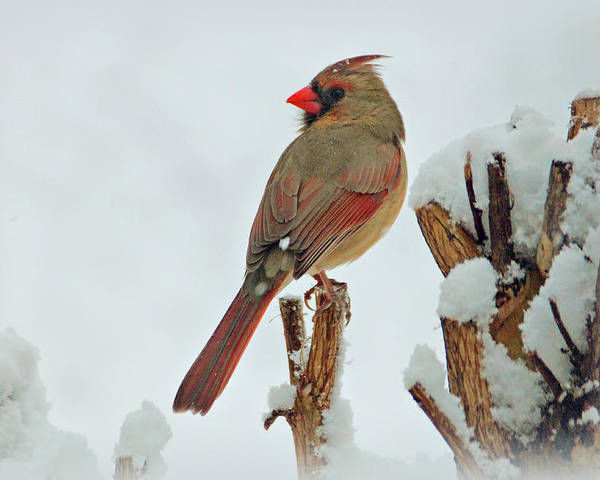 Bird Poster featuring the photograph Female Cardinal In The Snow by Sandy Keeton
