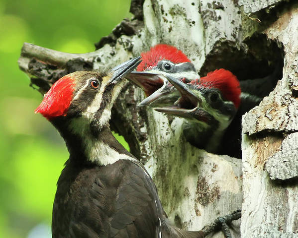 Pileated Poster featuring the photograph Female Pileated Woodpecker At Nest by Mircea Costina Photography