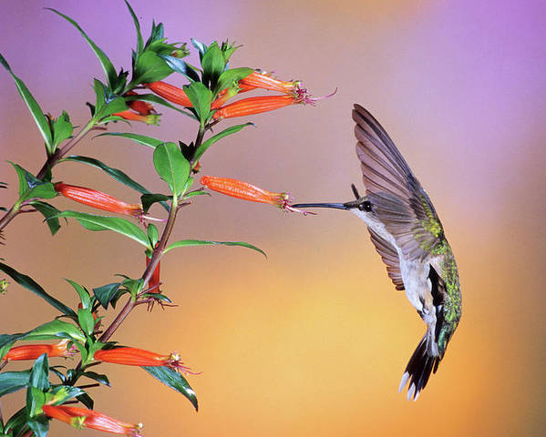 Photography Poster featuring the photograph Female Ruby-throated Hummingbird by Animal Images
