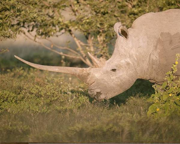 Adult Poster featuring the photograph Female White Rhinoceros Grazing by Science Photo Library