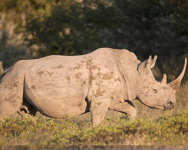 Adult Poster featuring the photograph Female White Rhinoceros by Science Photo Library