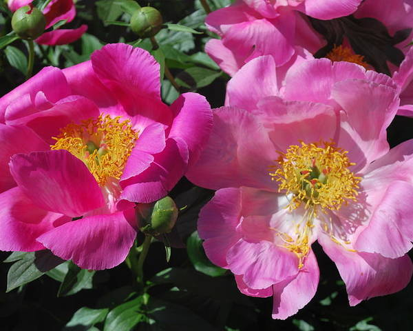 Spring Flowers Poster featuring the photograph Festival Of Pink by Billie Colson