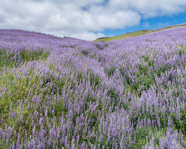 Lupine Poster featuring the photograph Fields Of Lupine 3 by Greg Nyquist