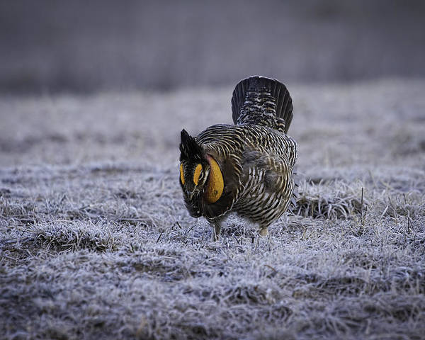 Prairie Chicken Poster featuring the photograph First Light 4 by Thomas Young