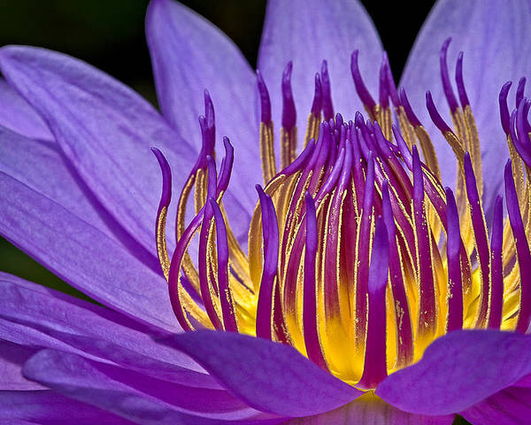 Waterlily Poster featuring the photograph Flaming Heart by Susan Candelario