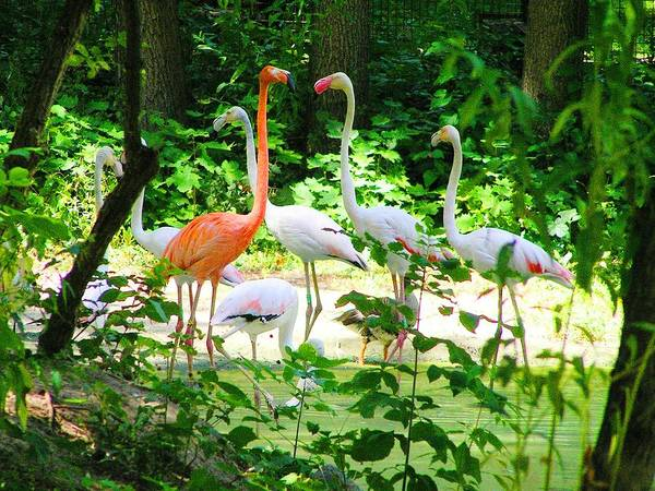 Flamingo Poster featuring the photograph Flamingo by Oleg Zavarzin