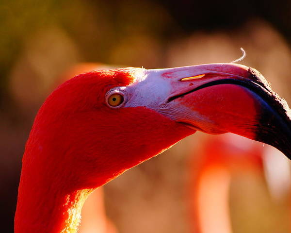 Nature Poster featuring the photograph Flamingo-profile by Angelika Sauer