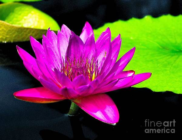 Aquatic Poster featuring the photograph Floating Purple Water Lily by Nick Zelinsky