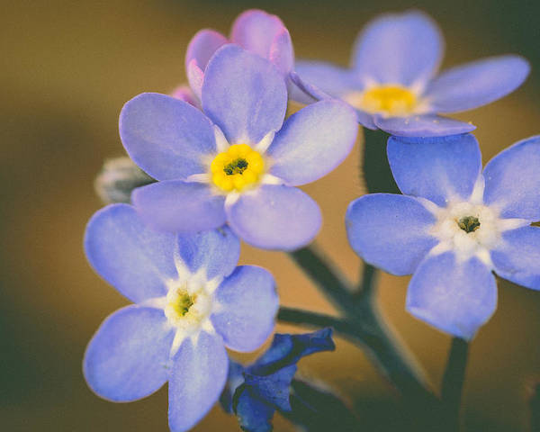 Forget Me Nots Poster featuring the photograph Forget Me Nots by Marco Oliveira