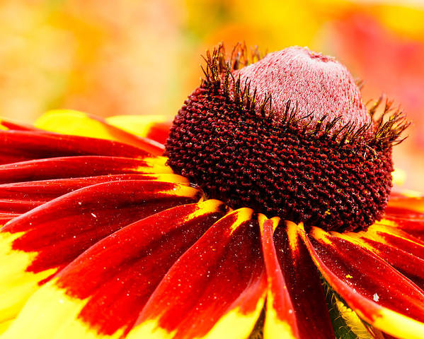 Flower Poster featuring the photograph Black Eyed Susan Hybrid by Ben Graham