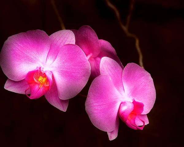 Orchid Poster featuring the photograph Flower - Orchid - Better In A Set by Mike Savad
