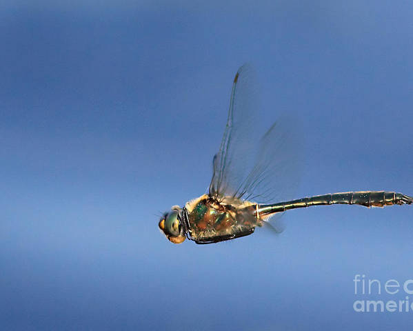 Dragonfly Poster featuring the photograph Fly By by Rick Mousseau
