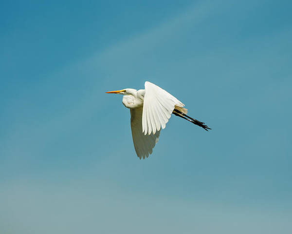 Egret Poster featuring the photograph Flying Great Egret by Jess Kraft