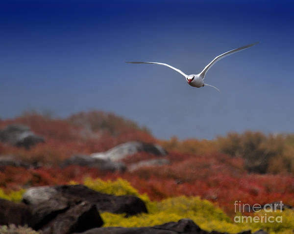 Tropic Bird Poster featuring the photograph Flying In by Todd Bielby