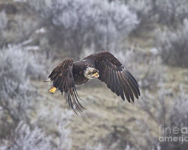 Eagle Poster featuring the photograph Flying Low by Mike Dawson