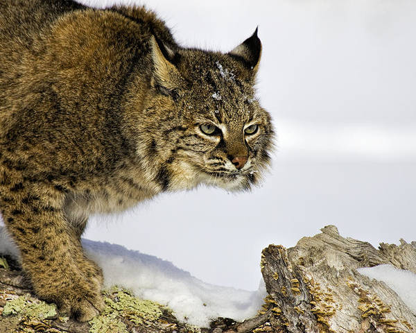 Bobcat Poster featuring the photograph Focusing by Jack Milchanowski
