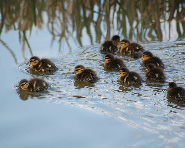 Ducklings Poster featuring the photograph Follow The Leader by Harvey Scothon