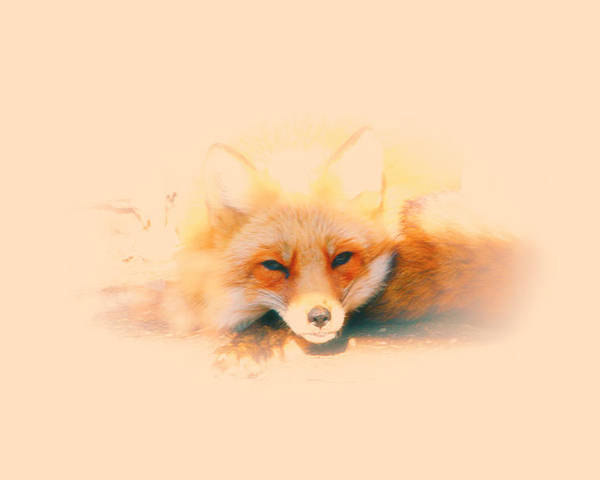 Red Fox Poster featuring the photograph Foxy by Karol Livote